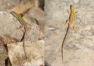 Italian wall lizard - Image: Male Female Podarcis siculus