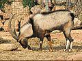 Male Cretan ibex.jpg