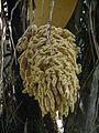 Male inflorescence of Attalea sp..JPG
