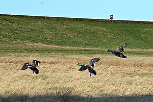 North Wirral Coastal Park - Mallard ducks at Leasowe Common