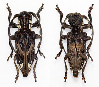 <i>Mallonia</i> genus of insects