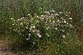 Malva-moschata Pflanze 070.jpg