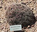 Mammillaria mystax - Desert Botanical Garden.jpg