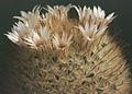 Mammillaria pennispinosa 2.jpg