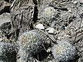 Mammillaria sphacelata (5736094585).jpg