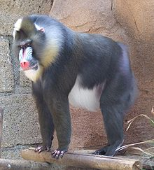 Mandrill at Las Aguilas Jungle Park.JPG