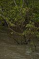 Mangrove - Godkhali - South 24 Parganas 2016-07-10 4938.JPG