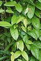 Mangrove Flora 07745.JPG