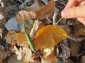 Mantis religiosa Marisorgin bat orbelean 6.jpg