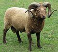 Manx Loaghtan Ram, 2 horns.jpg