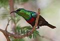 Marico sunbird, Cinnyris mariquensis (male) at Marakele National Park, Limpopo, South Africa (16275214316).jpg