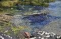 Marine Iguana swimming, Fernandina, Punta Espinosa.jpg