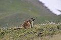 Marmotta (9).jpg