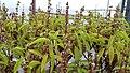 Marva plant.jpg