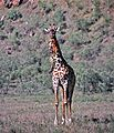 Masai Giraffe (Giraffa camelopardalis tippelskirchi) eating bones (8291808012).jpg