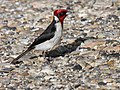 Masked Cardinal (Paroaria nigrogenis) (4092565007).jpg