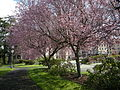 Masonic Retirement Center of Washington cherry trees 01.jpg