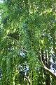 Maytenus boaria kz02.jpg