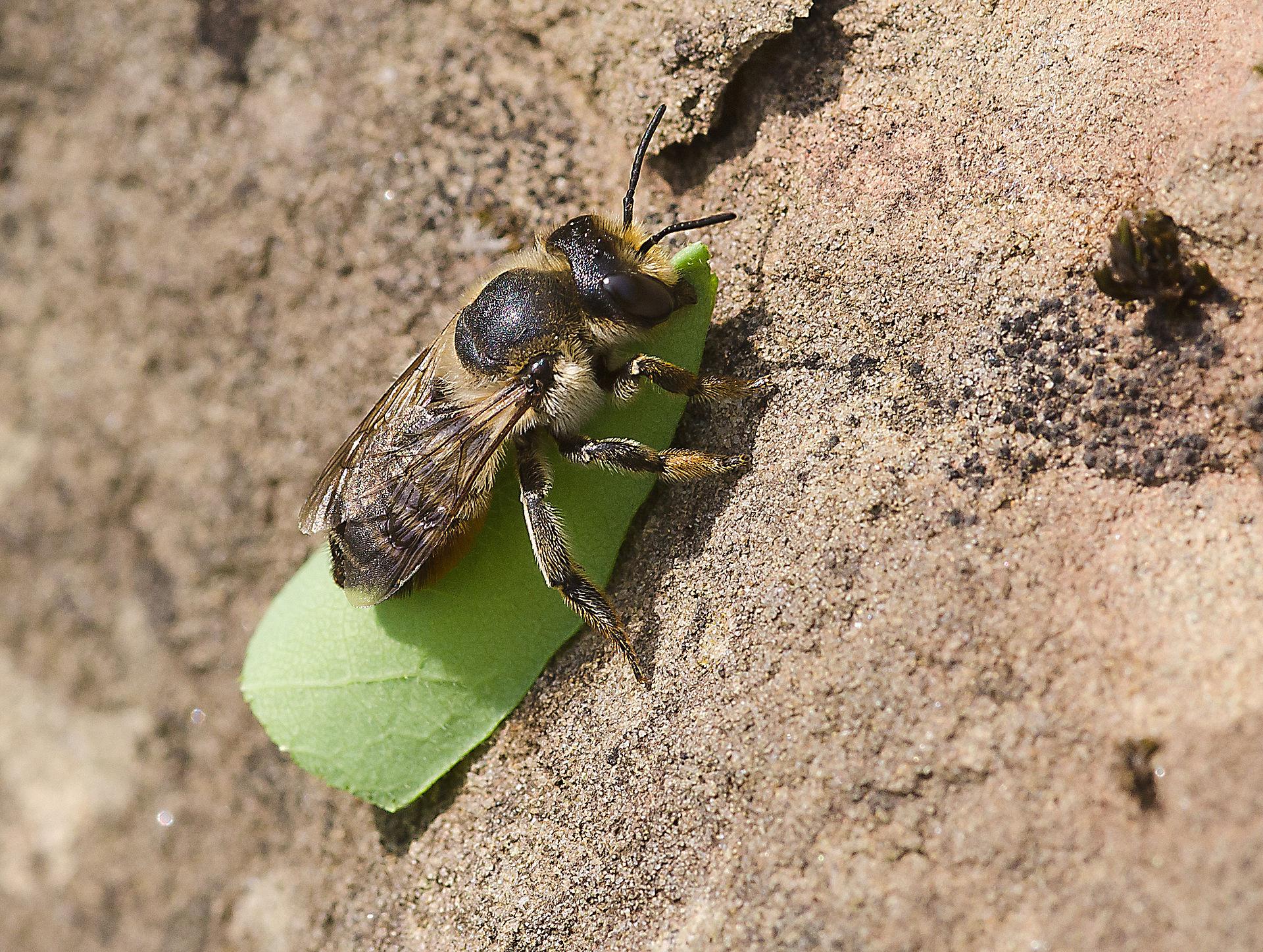 M rtel und blattschneiderbienen wikipedia for Mucken in der blumenerde