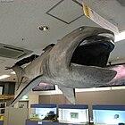 Megamouth shark Megachasma pelagios.jpg