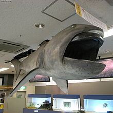 megamouth shark wikipedia