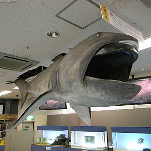 Megamouth shark - Display at Toba Aquarium