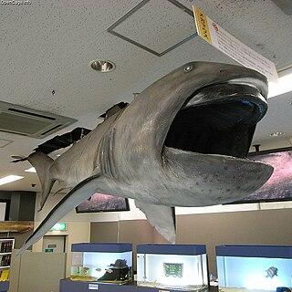 Megamouth shark Megachasma pelagios