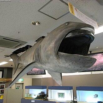 Lamniformes - Image: Megamouth shark Megachasma pelagios