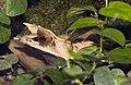 Megophrys.nasuta.7035.jpg
