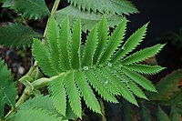 Melianthus major Leaf Top 3008px.jpg