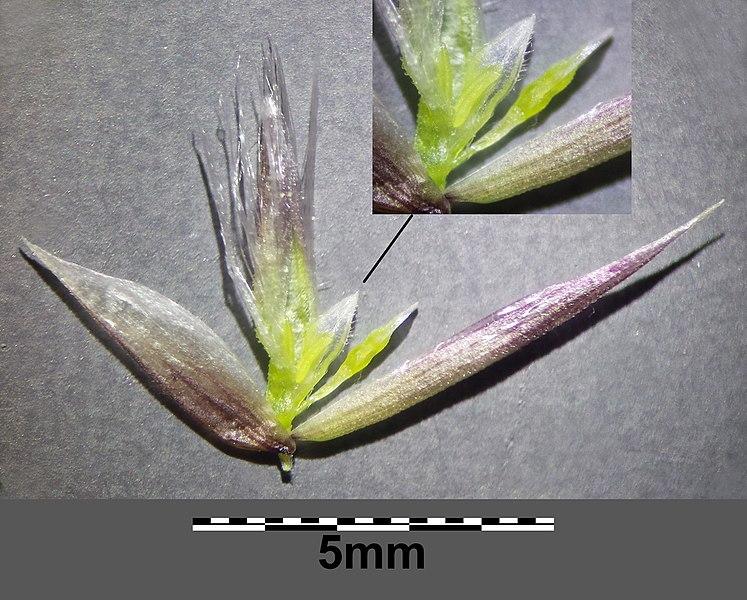 File:Melica transsilvanica (subsp. transsilvanica) sl22.jpg