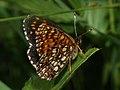 Melitaea diamina - False heath fritillary - Шашечница черноватая (26280483037).jpg