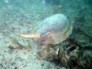 <i>Melo miltonis</i> Species of gastropod
