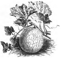 Melon golden perfection Vilmorin-Andrieux 1883.png