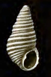 <i>Menestho</i> genus of molluscs