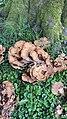 Meripilus giganteus 147891761.jpg