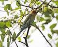 Merops philippinus 6.jpg