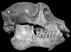 Mesopropithecus globiceps skull 001.jpg