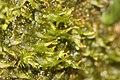 Metzgeria fruticulosa (a, 144707-474823) 9068.jpg