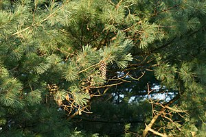 Pinus ayacahuite - Image: Mexican White Pine
