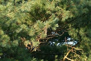 <i>Pinus ayacahuite</i> Species of conifer