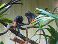 Mico leao preto SP Zoo 2.jpg