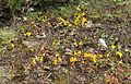 Mimulus guttatus habitat - Flickr - brewbooks.jpg