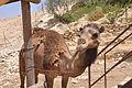 Mitzpe Ramon Camel (7703989044).jpg