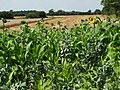 Mixed crop - geograph.org.uk - 522250.jpg