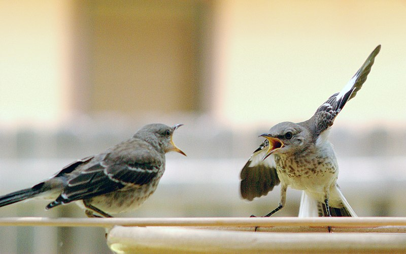 File:Mocking Bird Argument.jpg