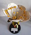 Modell von Prunus avium - Prunus cerasus (Kirschbaum) -Osterloh Nr. 30-.jpg