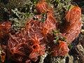 Monanchora barbadensis (Red Encrusting Sponge).jpg