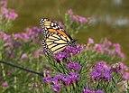 Monarch butterfly in BBG (84684).jpg