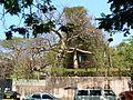 Monkey-bread tree (412782866).jpg
